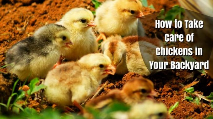 How to Take Care of Chickens in Your Backyard