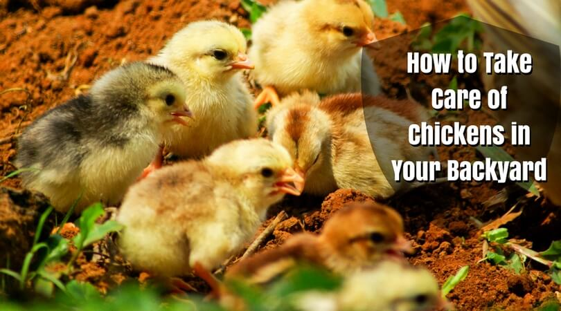How to Take Care of Chickens in Your Backyard - Best ...