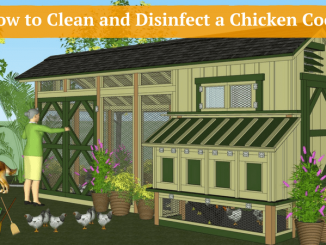 How to Clean and Disinfect a Chicken Coop
