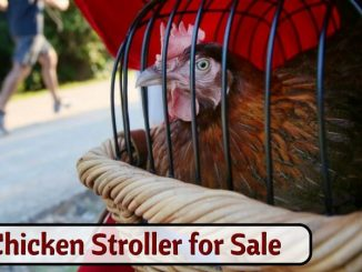 Chicken Stroller for Sale