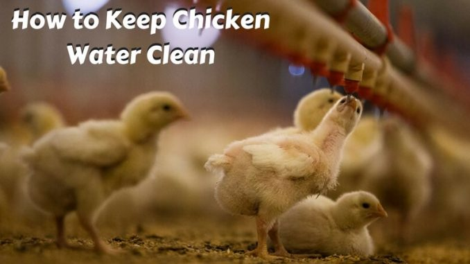 How to Keep Chicken Water Clean