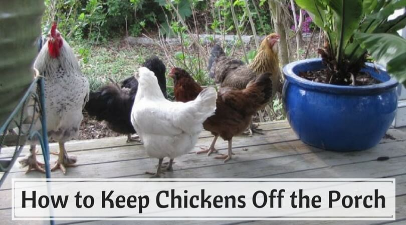 How to Keep Chickens Off the Porch