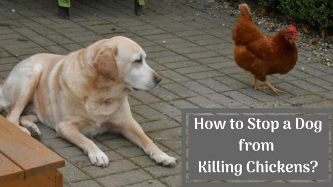 How to Stop a Dog from Killing Chickens