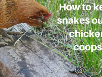 How to keep snakes out of chicken coops (1)