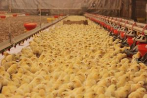 baby chicks in poultry farm