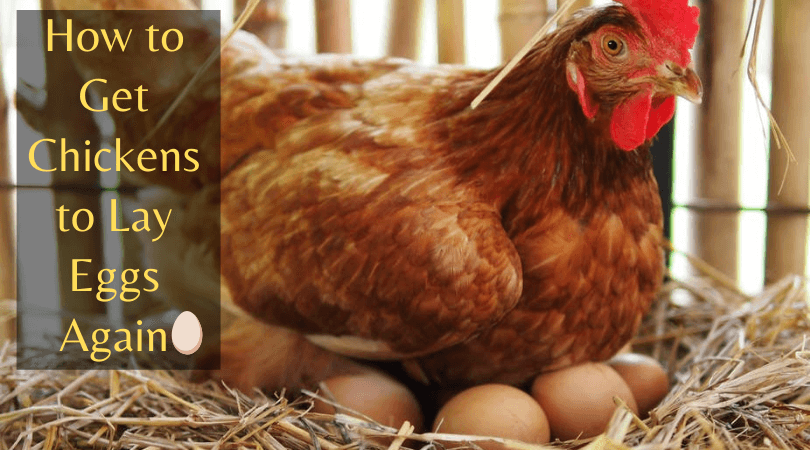 Chickens to lay eggs again