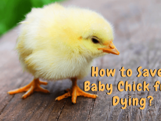 How to Save a Baby Chick from Dying_