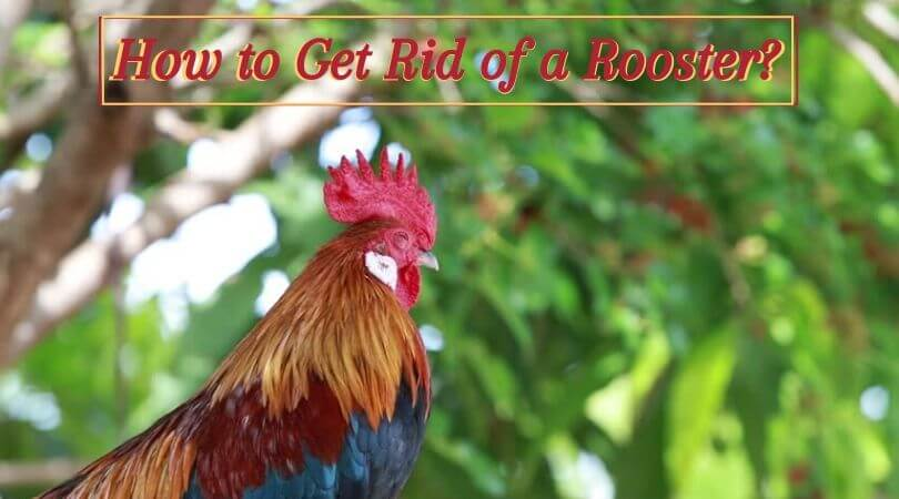 How to Get Rid of a Rooster