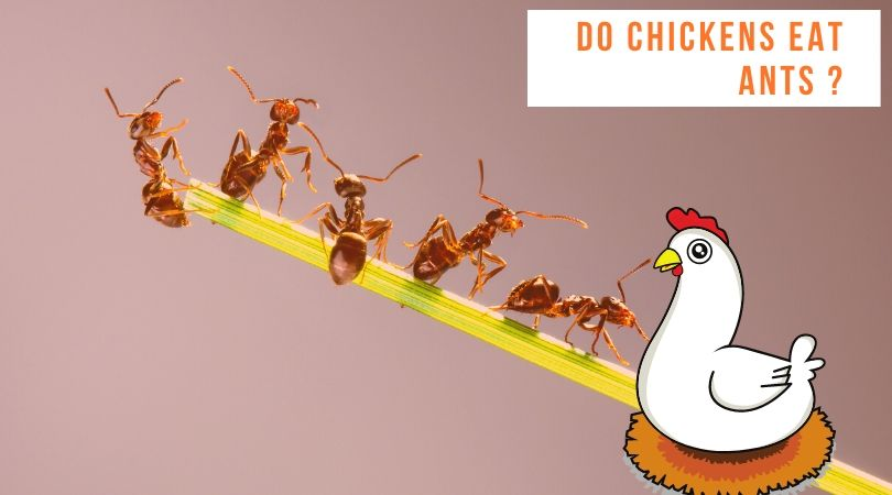 Do chickens eat ants