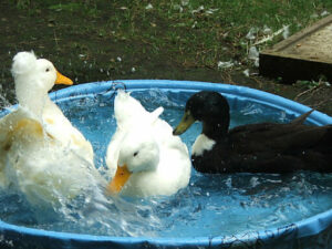 How To Keep Duck Water Clean